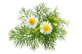 Image result for difference between german and roman chamomile plants